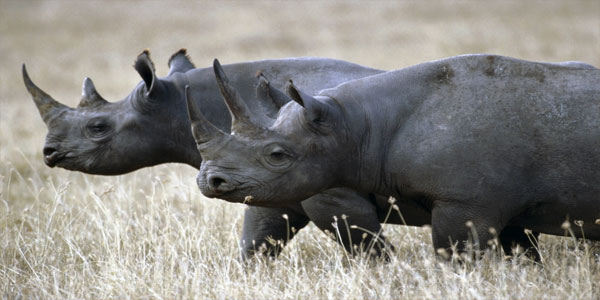 a-black_rhinoceros_rhinoceros_animals-3106